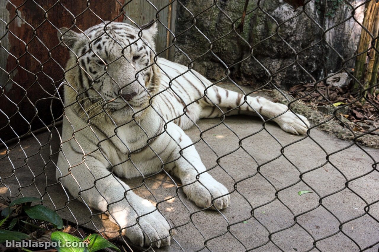 Safari world, white tiger
