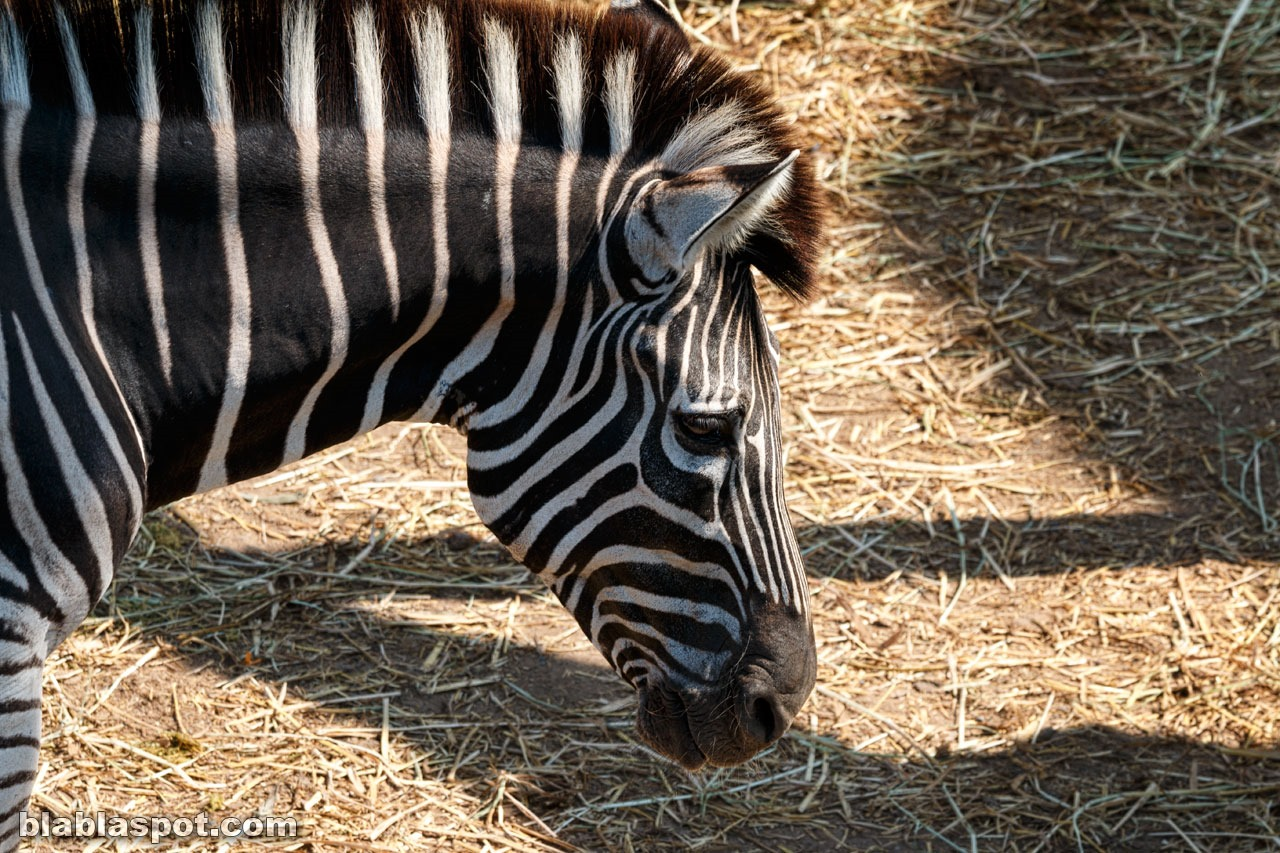 Safari world, zebra
